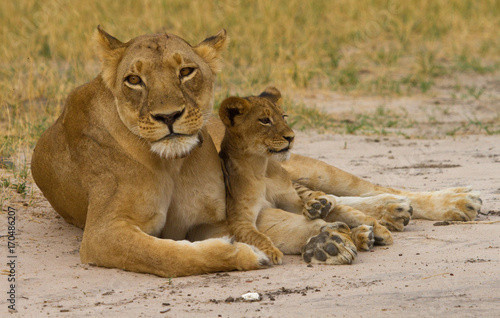 Mother Lioness with her cub resting betweej her paws in Hwange, Zimbabwe Poster