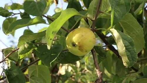 Tuinposter Olijfboom Natürlich gewachsener Apfel hängt am Baum, Blätter bewegen sich im Wind