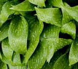 Fototapety Green leaves of hosta with rain drops
