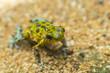 Small Frog Costa RIca