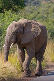Roadside Elephant-Pilanesberg NP