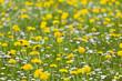 Dandelion Meadow In Spring - 170506459