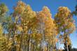 Fall Aspen 1