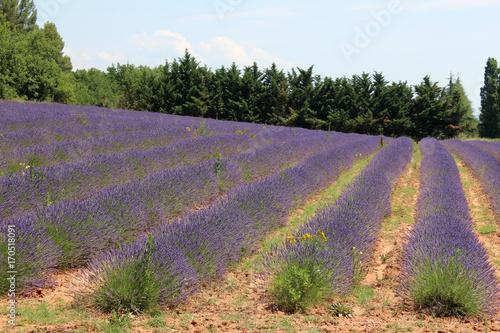 Aluminium Lavendel Fiori lavanda in Provenza nei campi di Valensole