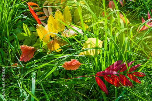 Fotobehang Lime groen Red and yellow autumn leaves of different trees lying in green grass in sunlight, closeup