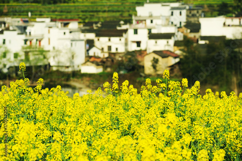 Fotobehang Geel Landscape of Wuyuan County with Yellow oilseed rape field and Blooming canola flowers in spring.