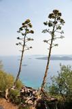 Kwiatostan agawy rosnący na skraju wybrzeża Chorwacji. - 170575470