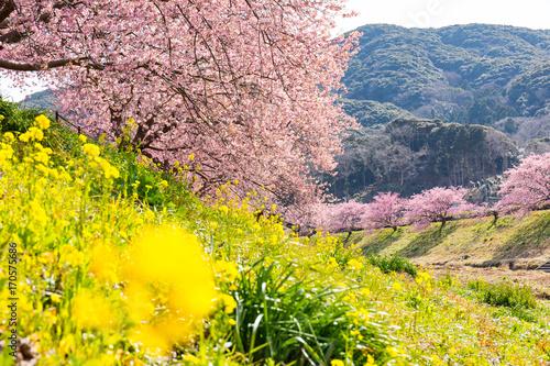 Fotobehang Geel Kawazu Sakura, Cherry Blosson, Spring of Izu, Japan