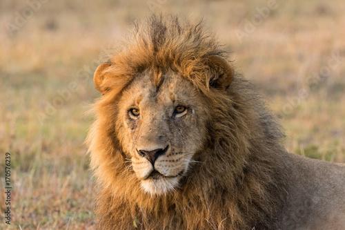 Fotobehang Lion Male Lion Close Up