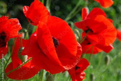Red Poppies © Psychedelight Sense