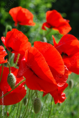 Poppies © Psychedelight Sense