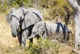 Okavango Delta, Elephants and baby