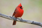 Male Cardinal - 170585686