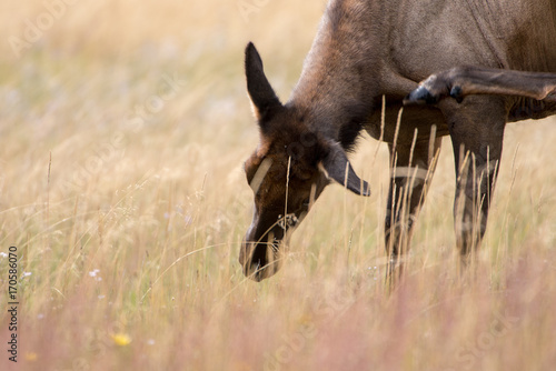 A female elk taking time off eating in the meadows of Yellowstone National Park to scratch an itch.