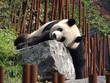 Panda Géant - 170587618
