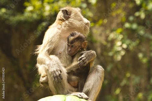 Monkeys in Batu Cave in Kuala Lumpur, Malaysia Poster