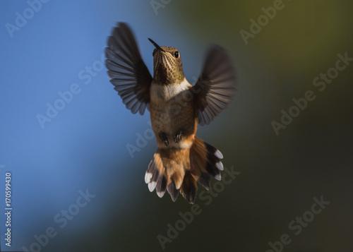 Ryży Hummingbird kobieta w locie (Selasphorus rufus)