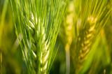 Barley - 170607086