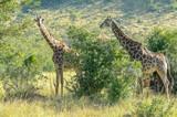 Giraffe - Kruger National Park - South Africa