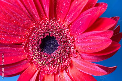 Fotobehang Gerbera Fresh wet gerbera flower close-up at spring.