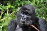 Mountain Gorilla in Volcanoes NP, Rwanda (Virunga Mountains)