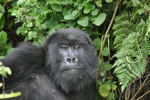 Mountain Gorilla in Volcanoes NP, Rwanda (Virunga Mountains) Poster