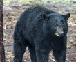 Black bear,