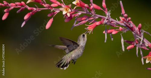 Panorama hummingbird łasowania nektar od czerwonych juków kwiatów