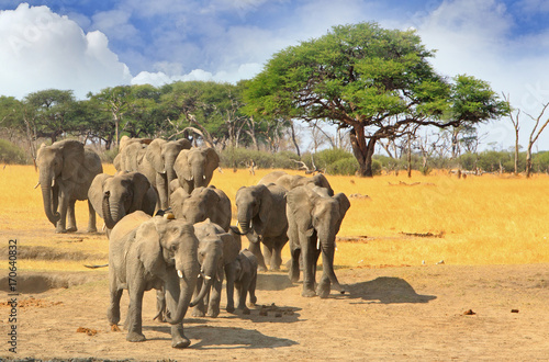 African Elephants walking across the african plains with acacia trees in the bac Poster