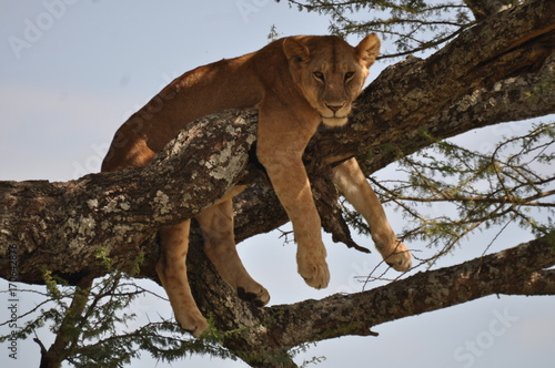Fotobehang Lion lion in a tree