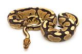 ball python snake reptile - 170643835