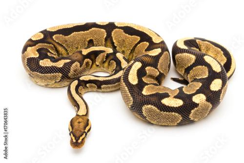 Fototapeta ball python snake reptile
