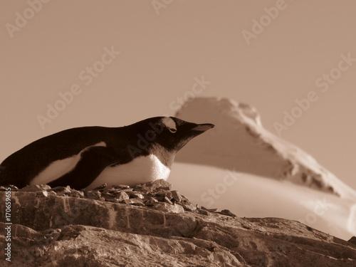 Fotobehang Pinguin antartica