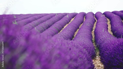 Endless Lavender Field Stretching Beyond Horizon. SLOW MOTION 120 fps. Changing Focus. Blooming Lavender Flowers Swaying in the Wind. Plateau du Valensole, Provence, South France, Europe.  © AlexMaster