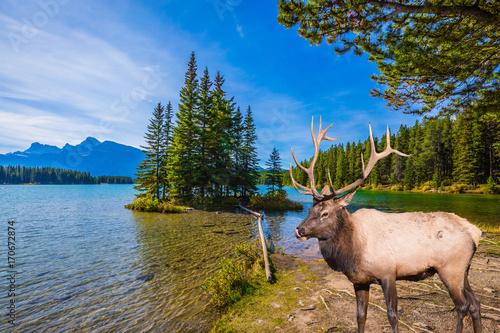 Fotobehang Hert The deer with branched horns graze