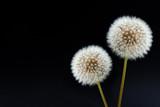 ein Paar Pusteblumen mit schwarzem HG und Textfreiraum