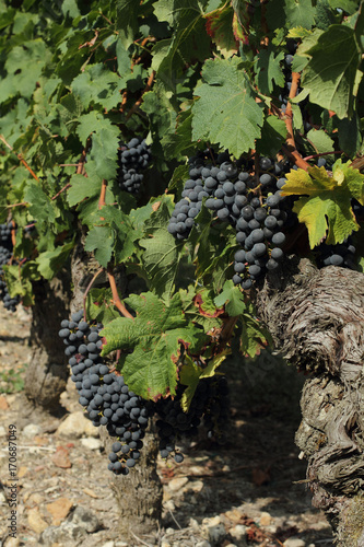 Fotobehang Pistache Pied de vigne