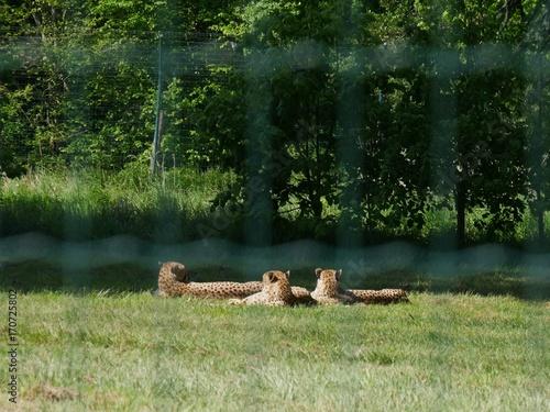 Trois guépards à l'heure de la sieste