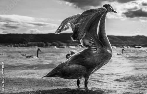 Fotobehang Zwaan Schwan am Seeufer mit gespreizten Flügeln schwarzweiß