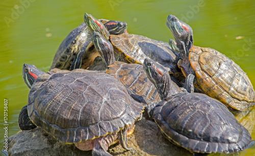 Aluminium Schildpad tortoises on a stone