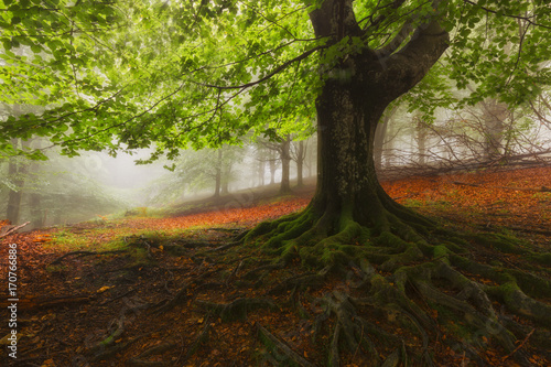Fotobehang Betoverde Bos Tree roots in a foggy misty forest