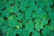 A patch of clover in a forest