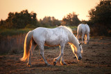 Two camargue white horses in golden red sunset light. - 170771035