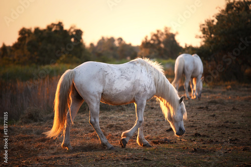 Two camargue white horses in golden red sunset light.