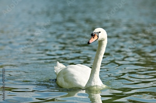 Fotobehang Zwaan Mute swan on blue lake in sunshine