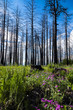 Green grass and purple flowers covering tree stumps and burned aspens on a cloudy summer day