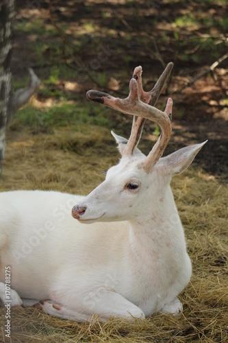 Fotobehang Hert Albino deer