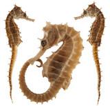 seahorse isolated on white background - 170788497