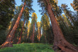 Giant Sequoias Forest. Sequoia National Park in California, Sierra Nevada Mountains.