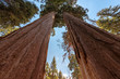 Huge Sequoia Trees In Sequoia National Park, California.